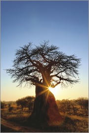 Adam Jones - African Baobab Tree