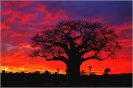 Adam Jones - African baobab tree at sunset