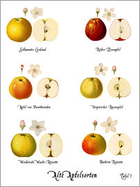 Christian Müringer Illustration Art - Old apple varieties