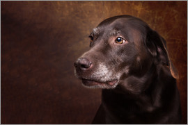 Janina Bürger - Old Chocolate Labrador Portrait