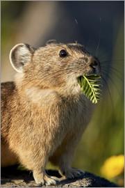 James Hager - American pika with food in its little snout