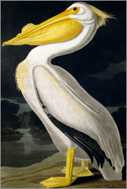 John James Audubon - American White Pelican, from 'Birds of America', engraved by Robert Havell published 1836
