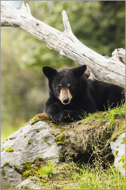 Doug Lindstrand - Black bear cub (ursus americanus), captive at the Alaska Wildlife Conservation Center, South-central