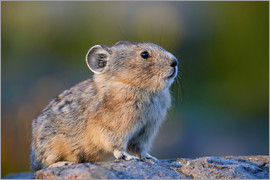 James Hager - American Pika
