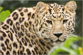 Power and Syred - Amur leopard