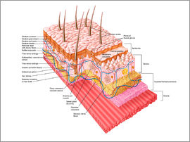 Stocktrek Images - Anatomy of the human skin