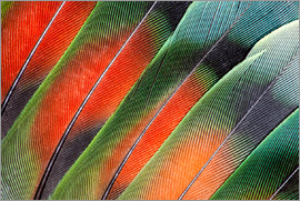 Darrell Gulin - Fanned out Lovebird feathers
