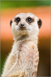 Edith Albuschat - Attentive meerkat