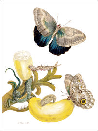 Maria Sibylla Merian - Banana fruit and Caligo
