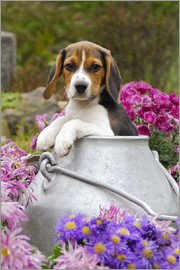 Katho Menden - Cute Beagle dog puppy in a milk can