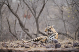 Janette Hill - Bengal tiger, Ranthambhore National Park, Rajasthan, India, Asia