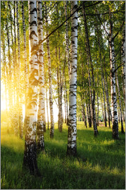 Birches in summer evening