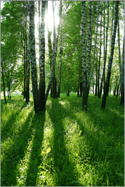 birch trees with long shadows