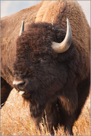 Larry Ditto - American Bison grazing