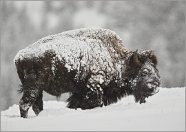 James Hager - Bison bull covered with snow