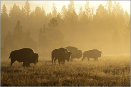 Patrick J. Wall - Bison in fog