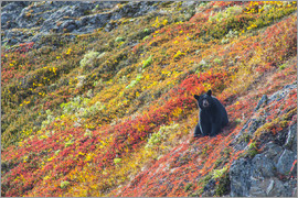 Michael Jones - Black bear (Urus Americanus) sitting on a colorful autumn hillside, Kenai Fjords National Park, Sout