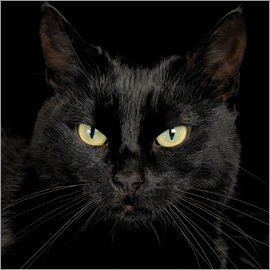 Simon Murrell - Black cat