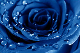 Blue Roses with Water Drops