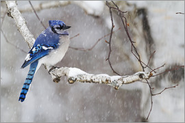 Philippe Henry - Blue Jay in snow