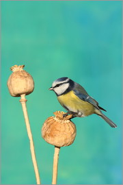 Uwe Fuchs - Blue Tit on poppy