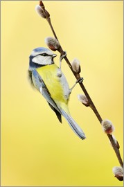 Rolfes - Blue tit on pussy willow