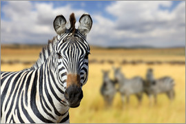 View of zebras