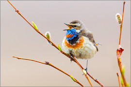 Ken Archer - Bluethroat Singing