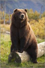 Doug Lindstrand - Brown bear sitting on a trunk