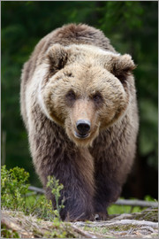 Brown bear in focus