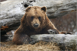 Doug Lindstrand - Brown bear in Alaska