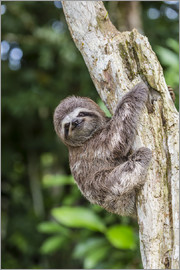 Michael Nolan - A captive pet brown-throated sloth (Bradypus variegatus), San Francisco Village, Loreto, Peru, South