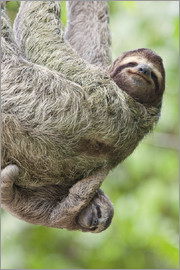A Brown-Throated Sloth (Bradypus variegatus) and her baby. Corcovado National Park, Costa Rica