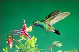 Rolf Nussbaumer - Broad-billed Hummingbird on Columbine
