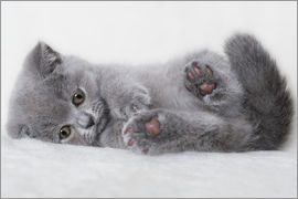 Heidi Bollich - British Shorthair Kitten 23