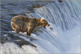 Gary Schultz - Brown bear (Ursus arctos) about to catch a jumping sockeye salmon (Oncorhynchus nerka) at Brooks Fal