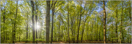 Christian Müringer - Beech forst in spring time panorama