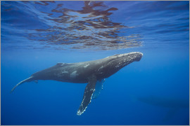 Dave Fleetham - Humpback whale under water