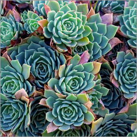 David Wall - Colorful succulents