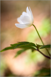 Mark Scheper - Wood anemone - blooming with soft background