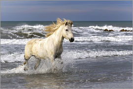 Adam Jones - Camargue horse in the surf