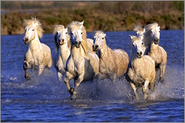 Adam Jones - Camargue horses galloping through wetlands