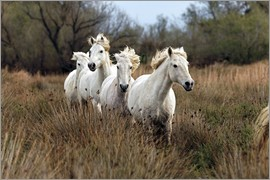Adam Jones - Camargue horses in the marsh