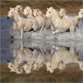 Adam Jones - Camargue horses and reflection