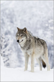 Doug Lindstrand - CAPTIVE: Female Tundra Wolf in snow, Alaska Wildlife Conservation Center, Southcentral Alaska