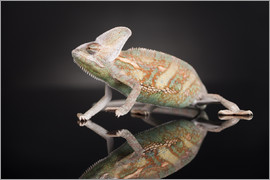 Chameleon in the studio