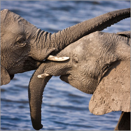 Janet Muir - Chobe National Park, Botswana. A close-up of a pair of African Bush Elephants.