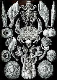 Ernst Haeckel - Cirripedia or barnacles