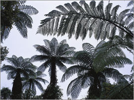 Thonig - Cyathea medullaris, tree ferns