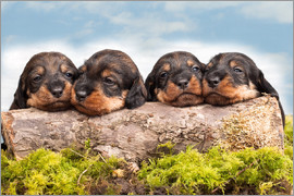 Monika Leirich - Dachshund puppy siblings